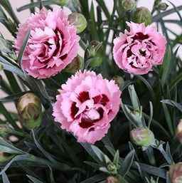 Dianthus perennial costa farms dianthus scent first raspberry surprise mightylinksfo