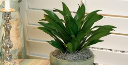 A Dracaena for Everyone
