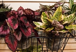 Add Color Indoors with Exotic Angel Houseplants