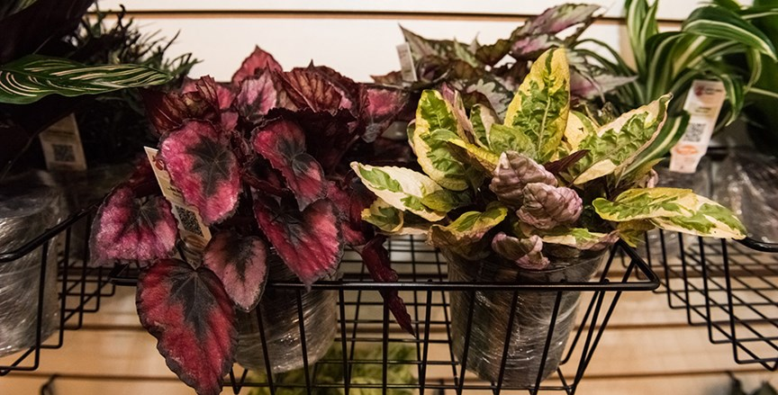 How To Care For Exotic Angel Plants Costa Farms