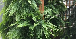 Create a Wall of Ferns for Privacy