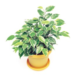 Ficus benjamina 'Little Gold Angel'