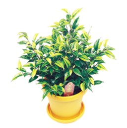 Ficus benjamina 'Nightingale'