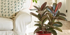 Ficus offers a wide range of beauties for your home--from fiddleleaf figs to rubber trees.