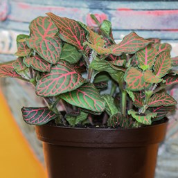 Fittonia 'Mini Red Vein'