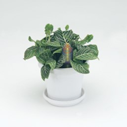 Mini Superba Nerve Plant