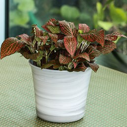 Fittonia 'Red Anne'