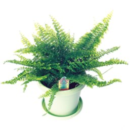 Florida Ruffle Boston Fern