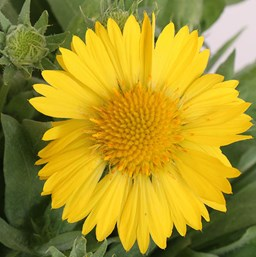 Gaillardia 'Mesa Yellow'