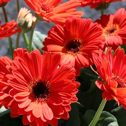 Gerbera jamesonii 'Mega Revolution Orange Dark Eye'