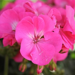 Pelargonium 'Survivor Pink Passion'