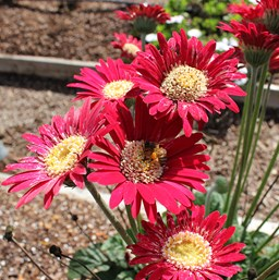 Gerbera 'Garvinea Lisa'