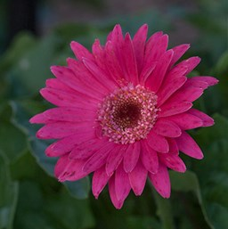 Gerbera 'Garvinea Sweet Dreams'