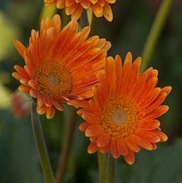 Gerbera 'Garvinea Sweet Honey'