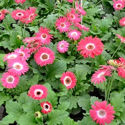 Gerbera jamesonii 'Revolution Bicolor Rose'