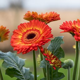Gerbera jamesonii 'Volcanoes'