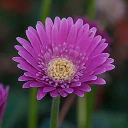 Gerbera 'Garvinea Sweet Surprise'