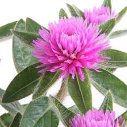 Gomphrena Pink Zazzle