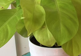 If you love chartreuse foliage, then Golden Goddess will be your dream houseplant!
