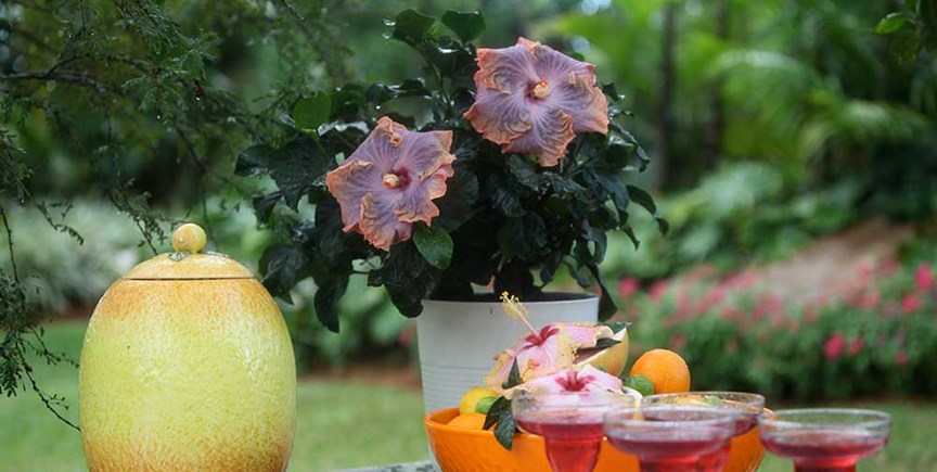 Tips For Growing Tropical Hibiscus Costa Farms