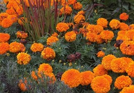 Color Commentary: Using Orange Flowers in the Garden