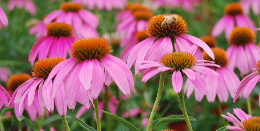 Grow Perennials with Native Roots