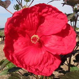 Hibiscus moscheutos 'Cherry Brandy'
