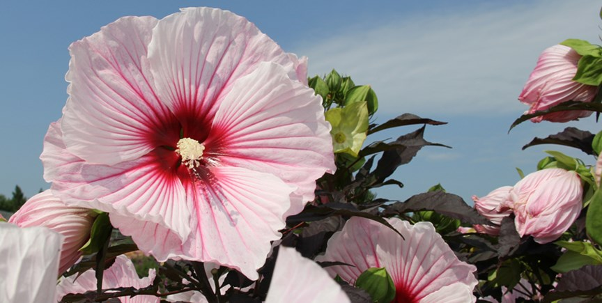 Hardy Hibiscus For Northern Climates Costa Farms