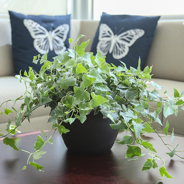 Indoor home office plants royalty Homegram Hedera Helix jubilee Costa Farms Ivy Costa Farms