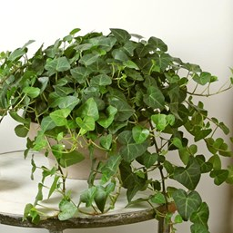 Ivy | Costa Farms Common Houseplant Ivy on common plants used in baskets florist, common house plant problems, common household plants, round leaves with ivy, variegated ivy, common names of indoor plants, hedera glacier ivy,