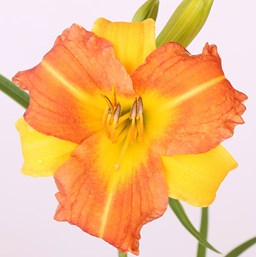 Hemerocallis 'EveryDayLily Yellow Punch'
