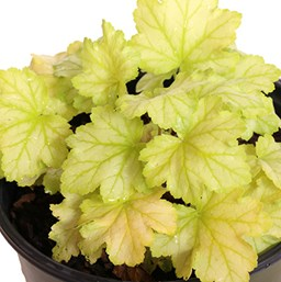 Heuchera 'Mint Julep'
