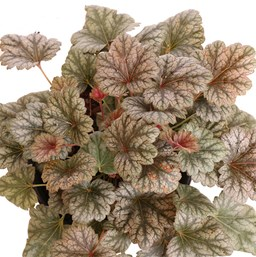 Heuchera 'Rave On'