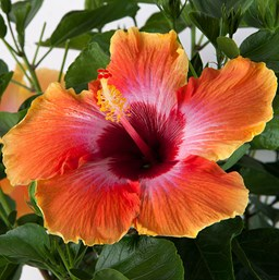 hibiscus tropical costa farms
