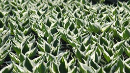 5 Reasons to Grow Hostas in Your Yard