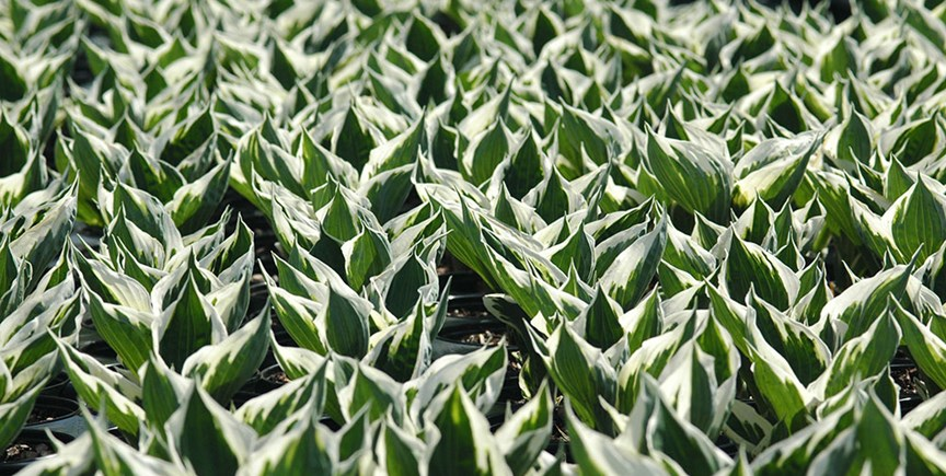 5 Reasons To Grow Hostas In Your Yard Costa Farms