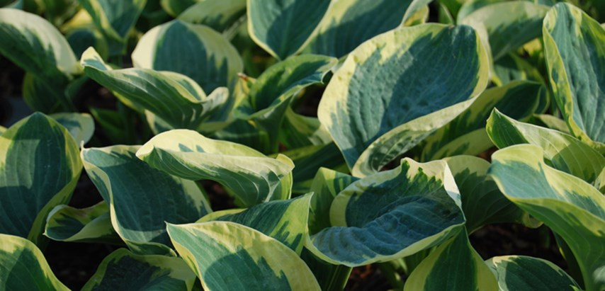 Hosta - an easy-care perennial flower for shaded gardens and landscapes