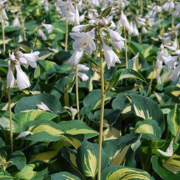 Hosta 'Dream Queen'