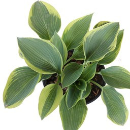 Hosta 'Sleeping Beauty'