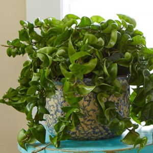 Exotic angel costa farms for How to take care of exotic angel plants