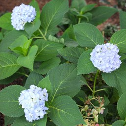 Hydrangea macrophylla 'Endless Summer'