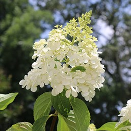 Hydrangea paniculata 'Vanilla Strawberry'