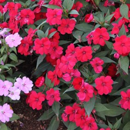 Impatiens 'Big Bounce Red'