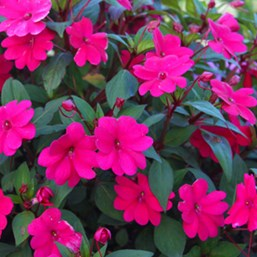 Impatiens 'Bounce Cherry'