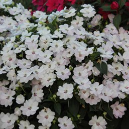 Impatiens 'Bounce White'