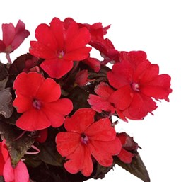 Impatiens 'SunPatiens Compact Fire Red'