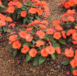 Impatiens 'SunPatiens 'Orange'