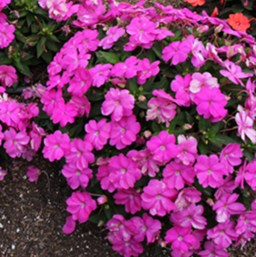 Impatiens 'SunPatiens Compact Light Lilac'