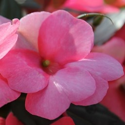 Impatiens 'SunPatiens Spreading Pink Flash'