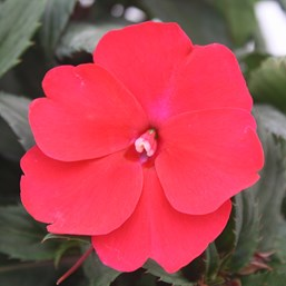 Impatiens 'Spreading Scarlet Red'